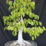 Ficus Benjamina Bonsai 4