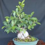 Ginseng Ficus Bonsai 1