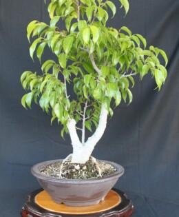 Ficus Benjamina Bonsai 2