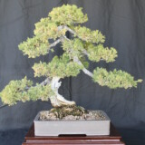 San Jose Juniper Bonsai
