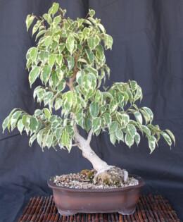 Ficus Benjamina Bonsai 3