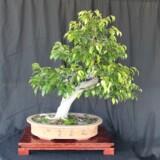 Ficus Bonsai 1