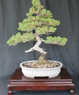 San Jose Juniper Bonsai 2