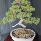 San Jose Juniper Bonsai 3