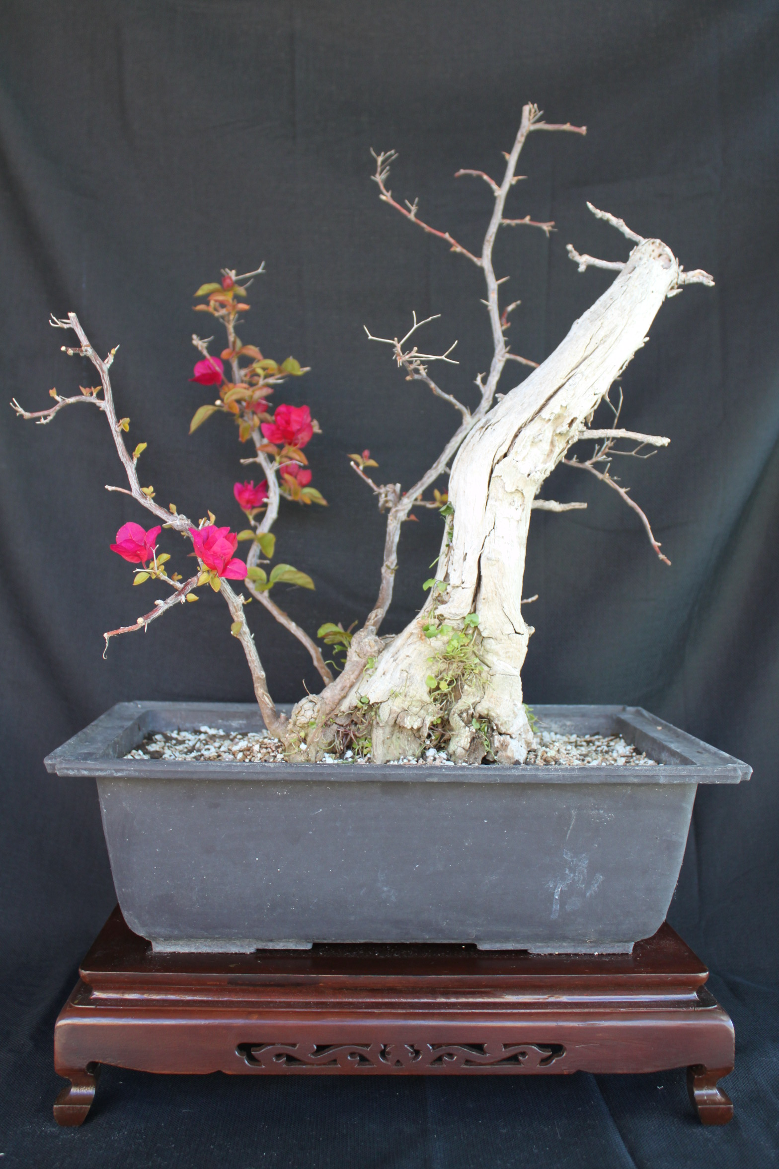 Wiring Bougainvillea Bonsai Diagram Schematic Name For Beginners Kuromatsubonsai Com Fence
