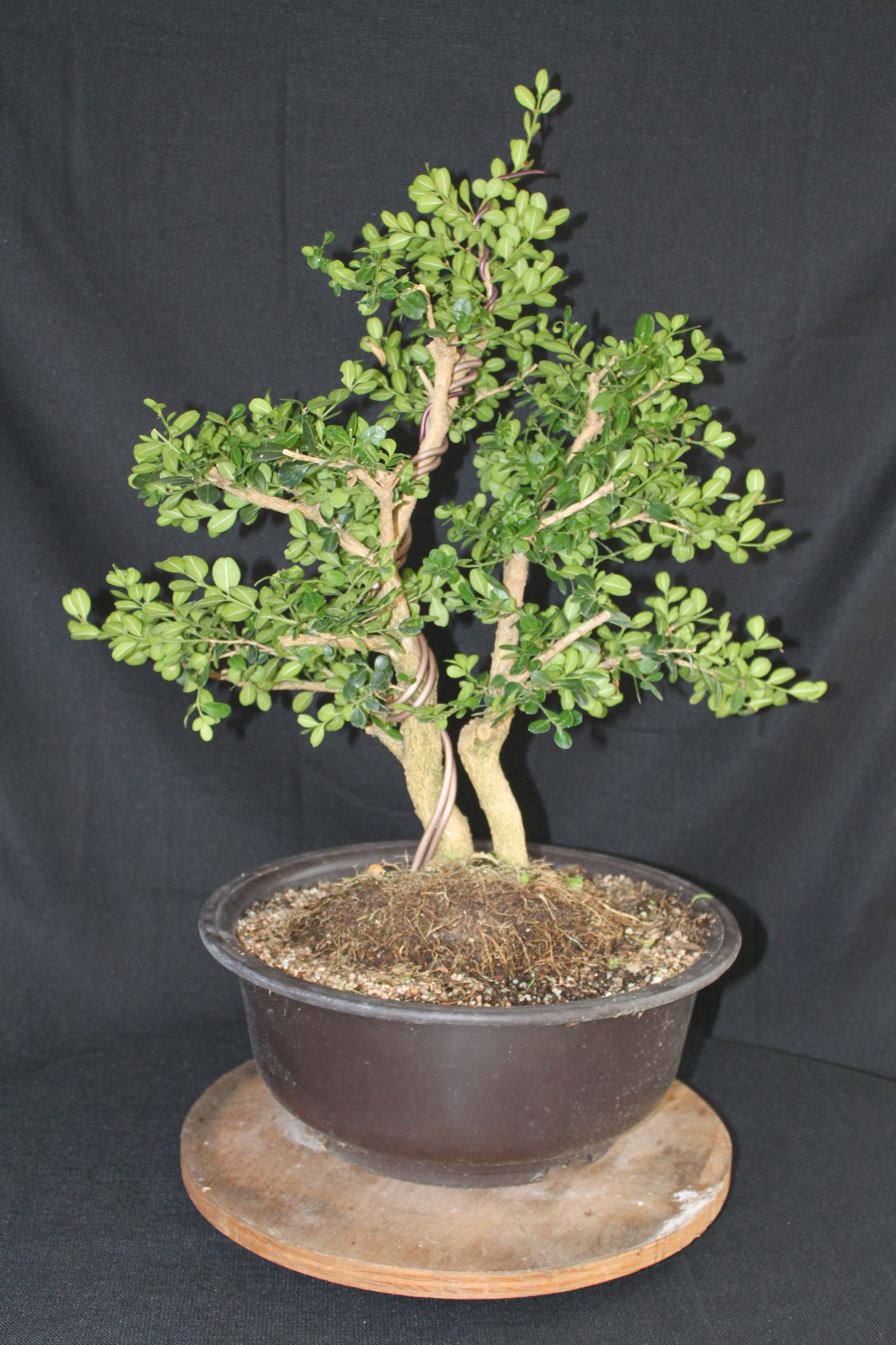 Boxwood Bonsai Wiring Juniper Tree Prebonsai Shaping Pruning