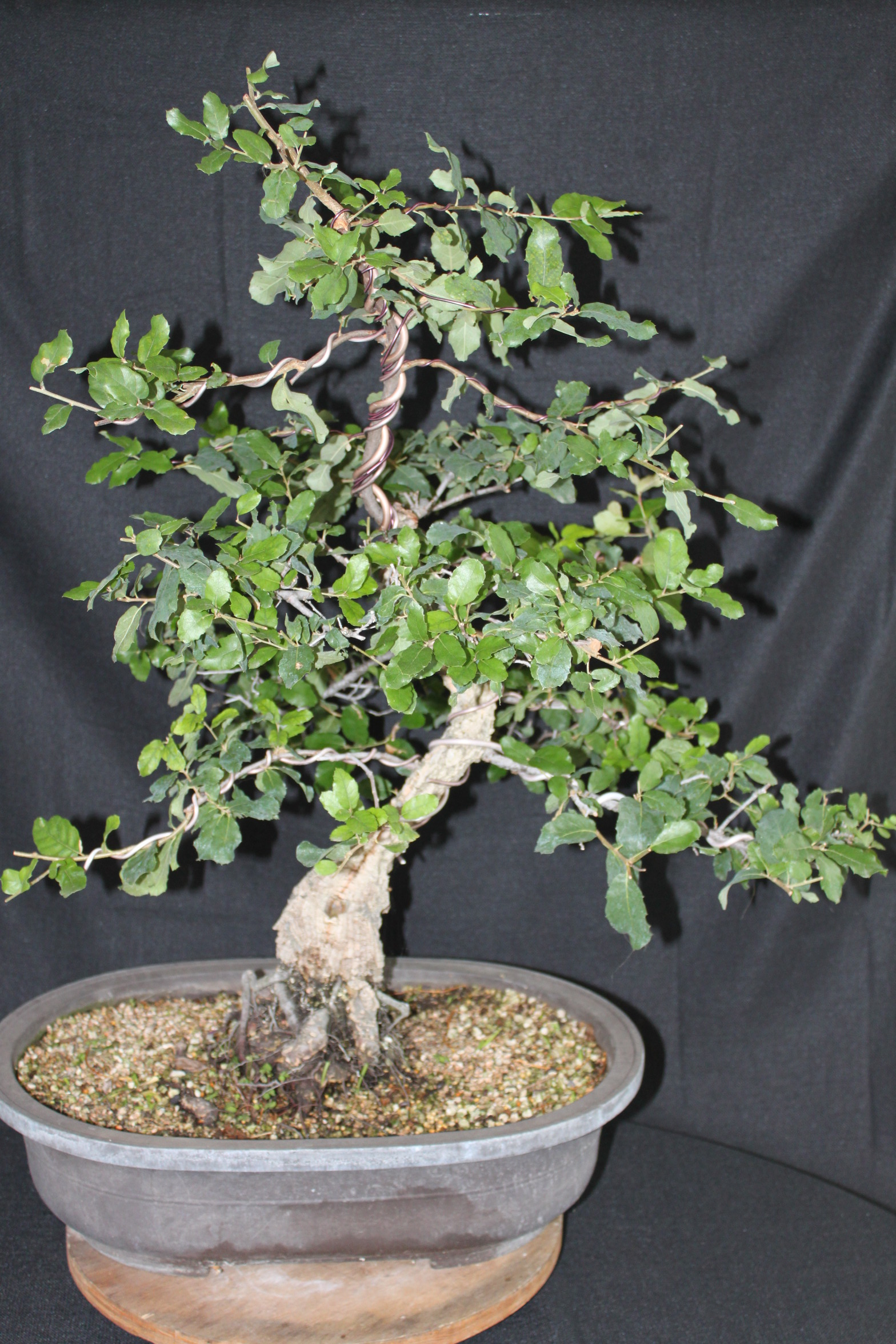 Oak Bonsai Wiring Chinese Elm